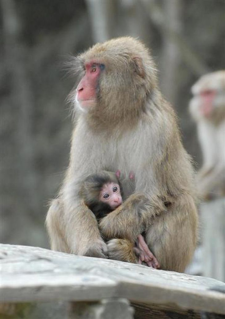 赤ちゃんを抱く母親のサル。出産がピークを迎えている